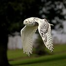 Snowy Owl in flight  by larry flewers