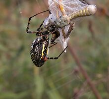 Argiope Trifasciata White Backed Garden Spider and Grasshopper by mnkreations