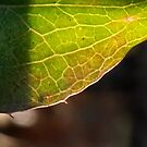 Leaf in translucency I by Nadia Korths