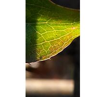 Leaf in translucency I Photographic Print