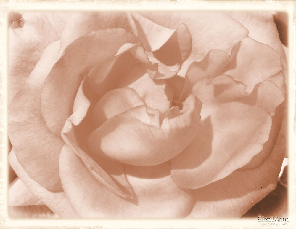 time machine rose (year 1855) by Eliza1Anna