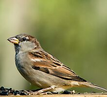 House Sparrow in Fall Coat by Bonnie T.  Barry