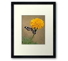 marigold with glasswing Framed Print