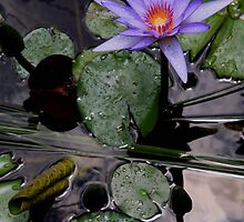 Single Waterlily by Coriena