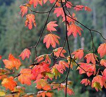 """Vine Maples on a Rainy Day"" by Lynn Bawden"