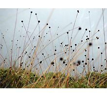 Button Grass Photographic Print