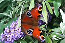 Peacock Butterfly by naturelover
