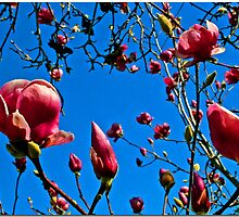Magnolia Sky by Chet  King