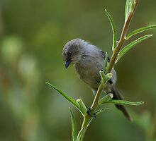 Inquisitive Bushtit by pdeley