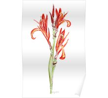 Wild Canna in Watercolour Poster