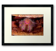 Hairy Squat Lobster Framed Print