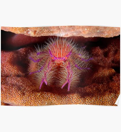 Hairy Squat Lobster Poster