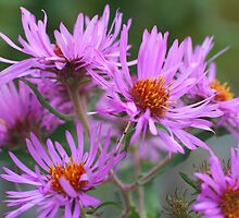 Pink Asters by SmilinEyes