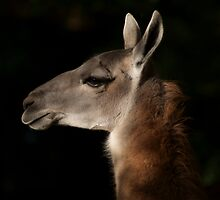 Guanaco by CanDuCreations