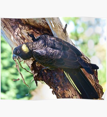Yellow-tailed Black Cockatoo Poster