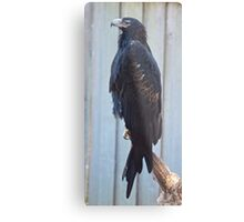 Tasmanian Wedge-tailed Eagle Metal Print