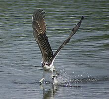 Osprey fishing by arcadian7