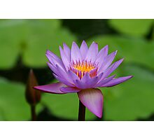 Waterlilly Photographic Print