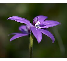 Glossodia Major - Wax Lip Orchids - Mt Barker Summit Photographic Print
