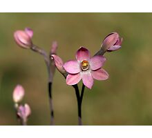 Common Pink Sun Orchid - Mount Barker Summit Photographic Print