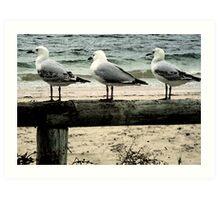 Three Seagulls at Busselton Art Print