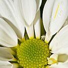 British Chrysanthemum by Nala