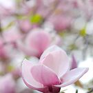 Magnolia flowers by Karl Smutko