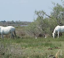 White Horses and Egrets by pluspixels