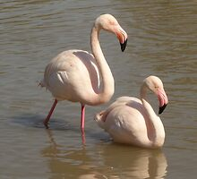 Pair of Greater Flamingos by pluspixels