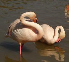 Preening Flamingos by pluspixels