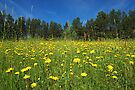 Hawkweed Meadow by Martins Blumbergs