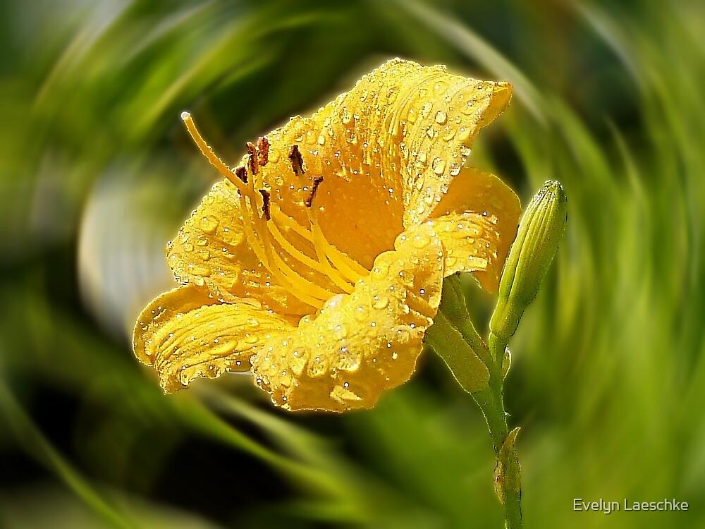 Daylily by Evelyn Laeschke
