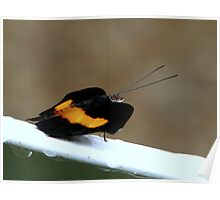 East-Mexican Banner Butterfly - Catonephele mexicana  Poster