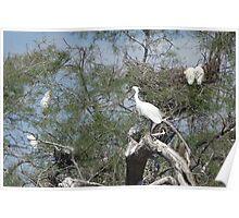Little Egrets Poster