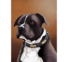 Staffordshire bull terrier 2 Photographic Print