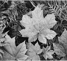 Ansel Adams - Close-up of leaves In Glacier National Park (1942) by Adam Asar