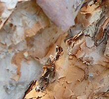 Birch Bark by Adria Bryant