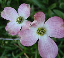 Dogwood flowers by Phemie