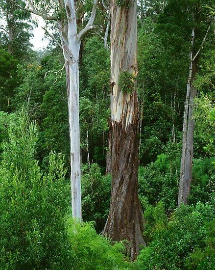 Mountain Ash, Otways. by Ern Mainka