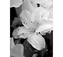 (1) Raindrop Lillies, Black & White  Photographic Print