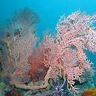 Aldinga Gorgonian  by Matt Gibbs