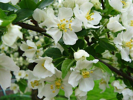 White Crabapple Blossoms by Rachel Stickney