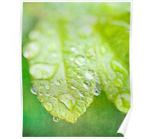 Green Leaves and drops of water Poster