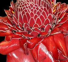 Torch Ginger by Teresa Zieba