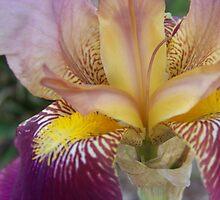Iris by Coloursofnature