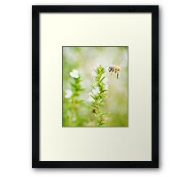 Winter savory and bee in garden Framed Print