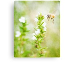 Winter savory and bee in garden Canvas Print