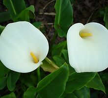 lilies by Sharon Stevens