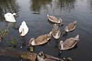 Family Of Swans by davesphotographics