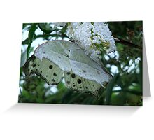 Mother of Pearl - Protogoniomorpha parhassus  Greeting Card